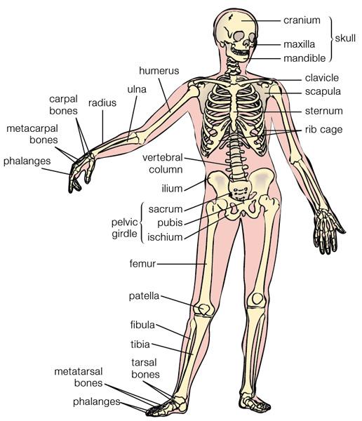 Human Bone Anatomy Artstudios